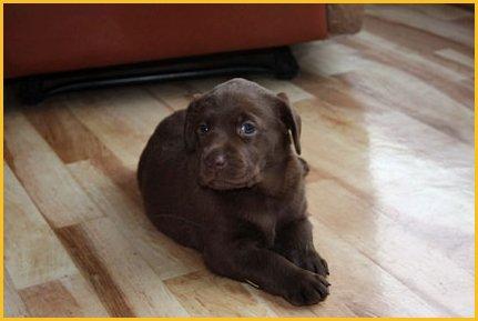 sjokoladebrune labrador valper